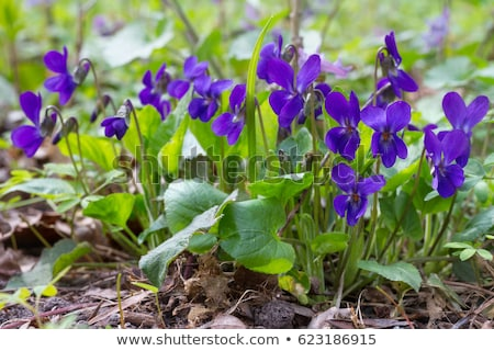 Viola odorata  Stock photo © LianeM