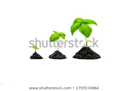 Basil with Roots Stock photo © zhekos