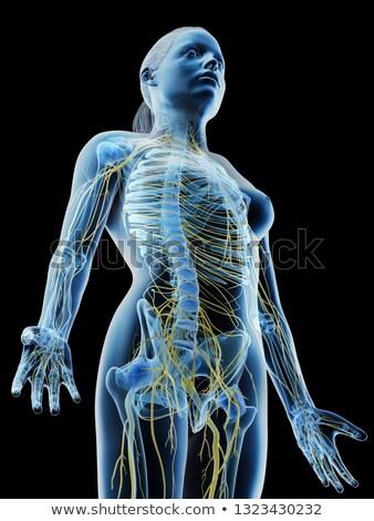 Feminino sistema nervoso ilustração menina azul ciência Foto stock © bluering