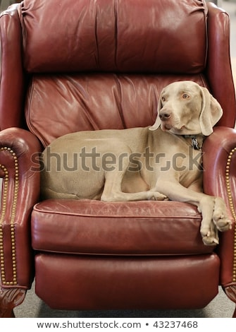 Dog sitting on leather chair. Stock photo © iofoto