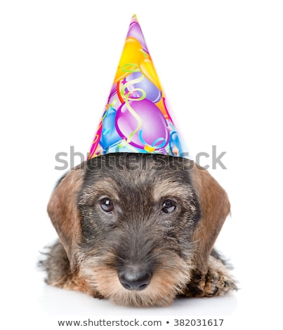 wired hair dachshund portrait with a cap in white studio Stock photo © vauvau