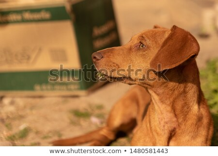 lovely short hair dachshund portrait in a white photo studio stock photo © vauvau