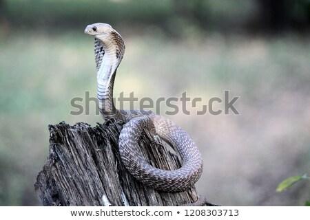 Indiai kobra kígyó illusztráció vicces Stock fotó © adrenalina