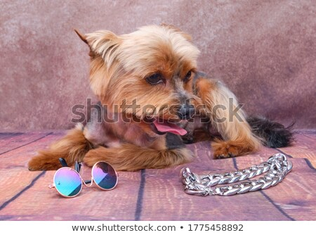 seated yorkshire terrier with sunglasses and chain looks to side Stock photo © feedough