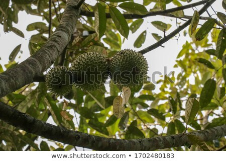 Durian Exotic Juicy Thailand Malaysia Fruit Icon Stock photo © robuart