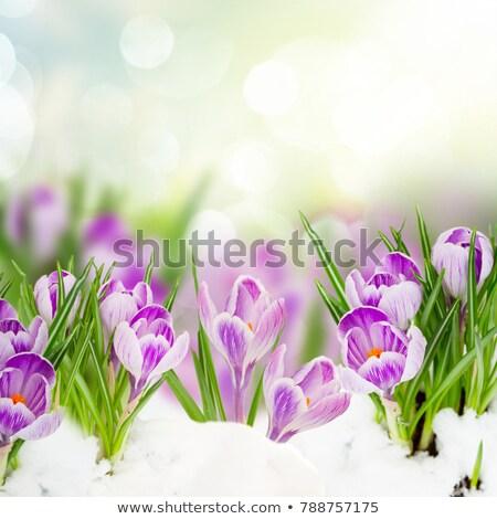 violet · krokus · sneeuw · Blauw · voorjaar · bloem - stockfoto © artspace