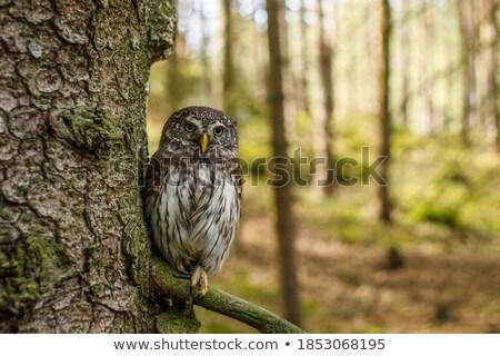 eurasian pygmy owl perched on spruce branch Stock photo © taviphoto