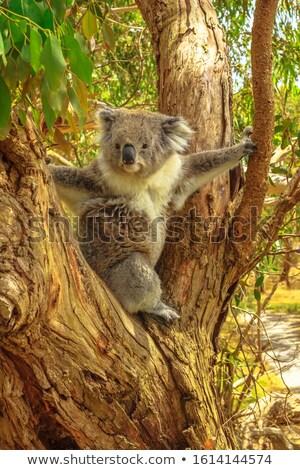 koala · sesión · árbol · mullido · árboles · verde - foto stock © backyardproductions