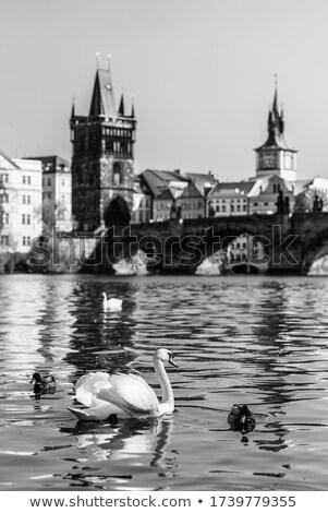 Fehér hattyú Prága folyó híd épület Stock fotó © Givaga