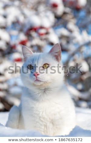 portrait of tabby cat in winter over snow Stock photo © dolgachov