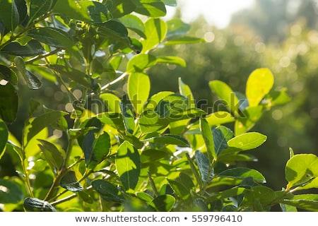 Companheiro folhas tigela fundo verde Foto stock © grafvision