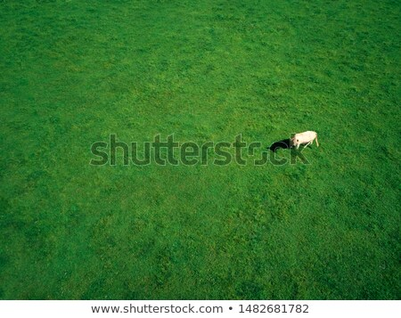 aerial photography of cow grazing in grassy field on summer stock photo © diego_cervo