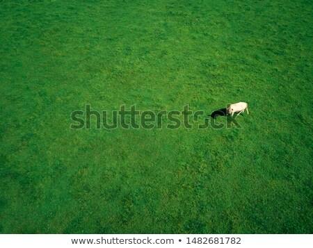 vaca · fazenda · campo · grama · verde · macio · céu - foto stock © diego_cervo