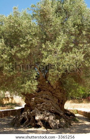 Olive trees Olea europaea in Crete, Greece for olive oil production Stock photo © dmitry_rukhlenko
