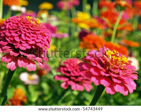 A Garden of Multi-Colored Marigolds in Full Bloom and a Bumblebee Stock photo © Frankljr
