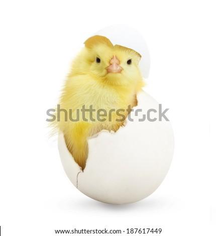 Sevimli küçük tavuk dışarı beyaz yumurta Stok fotoğraf © jarin13