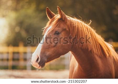Paard hoofd lopen hengst mooie Rood Stockfoto © HunterX