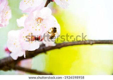 Bee nectar bloemen kers pruim bloei Stockfoto © Yatsenko