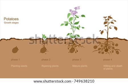 Afgewerkt procede aardappel veld plantaardige Stockfoto © Yatsenko