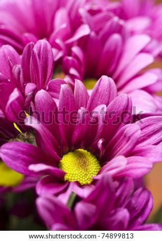Deep Pink Chrysanthemum Flowers - Very Shallow Depth Of Field Stok fotoğraf © Tish1