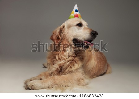 Stock photo: curious labrador with colorful balloons birthday cap looks to si