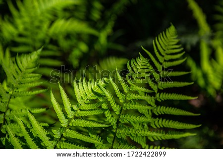 Closeup of a dark green branch of fresh ferns on a black background with copy space. Natural foliage Stock photo © artjazz