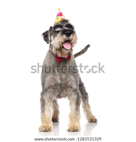 funny birthday schnauzer wearing sunglasses and bowtie panting Stock photo © feedough