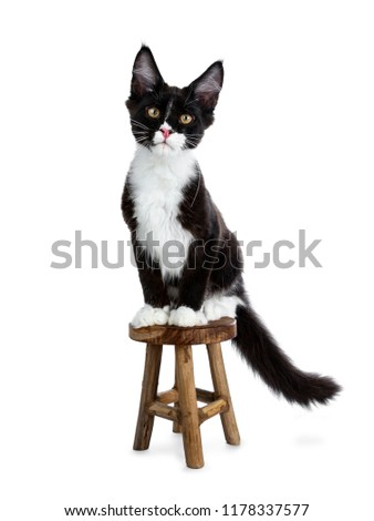 Super cute bat cat, black and white young Maine Coon cat kitten Stock photo © CatchyImages