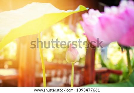 春 ピンク 蓮 緑 ぼけ味 日光 ストックフォト © nuiiko