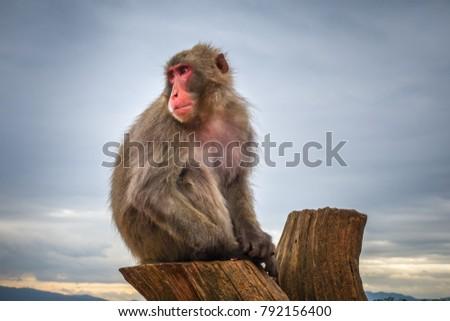 Japonês macaco parque quioto Japão árvore Foto stock © daboost