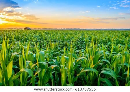 branco · jacinto · campo · agrícola · flor - foto stock © simazoran