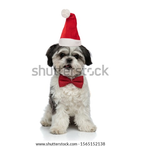 adorable shih tzu wearing red bowtie sitting with tongue exposed Stock photo © feedough