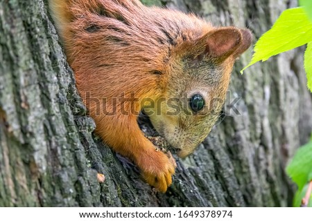 cute red squirrel sitting on tree trunk on blurred forest background Stock photo © galitskaya