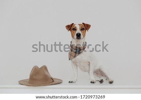 Cute jack russell terrier sjaal rond nek witte Stockfoto © vkstudio
