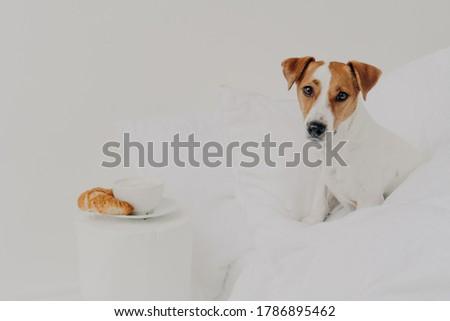 Good morning, breakfast, animals, awakening concept. Cute pedigree jack russel terrier dog stays in  Stock photo © vkstudio