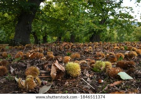 Vert châtaigne deux forêt nature fruits Photo stock © broker