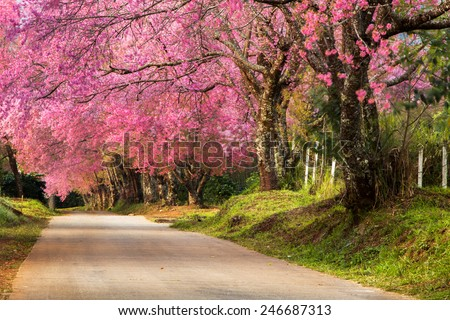 pink wild cherry flower thai sakura cherry blossom full bloom stock photo © meinzahn