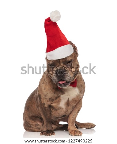 adorable american bully with santa hat looks down while sitting Stock photo © feedough