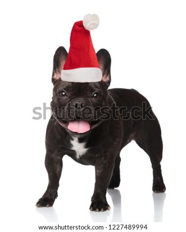 happy black french bulldog with santa cap standing and panting Stock photo © feedough