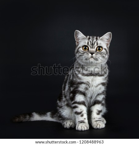 Stockfoto: Excellent Black Silver Tabby Blotched Yellow Eyed British Shorthair Kitten Isolated On Black Backg