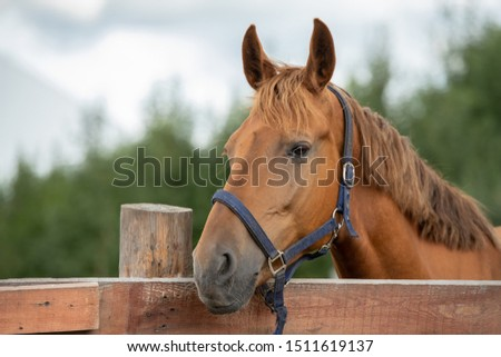Muzzle of calm purebred brown racehorse by fence in rural environment Stock photo © pressmaster