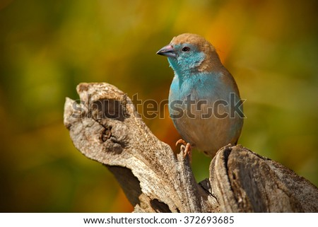 Blue Waxbil - Background Beautyl - Wild and free African Birds. Stock photo © Livingwild