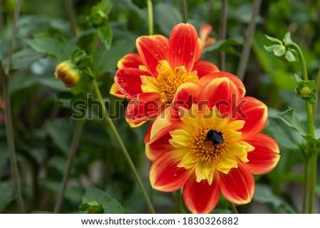 Dalia giallo arancione fiori punto parco Foto d'archivio © iriana88w