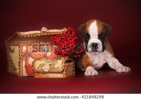 Beautiful boxer puppy with white markings lies near the autumn b Stock photo © goroshnikova