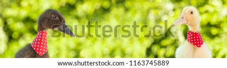 Bonitinho amarelo patinho olhando cópia espaço Foto stock © lightkeeper