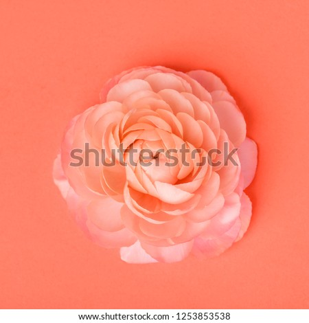 Beautiful ranunculus flower in a color of the year 2019 Living Coral Pantone on a gray background wi Stock photo © artjazz