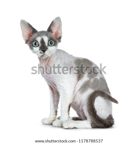 愛らしい 青 ポイント 白 猫 子猫 ストックフォト © CatchyImages