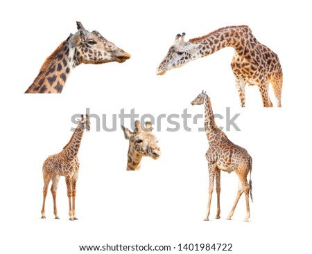 116+ Megapixel Giraffe Variety Collection Isolated on White Back Stock photo © feverpitch