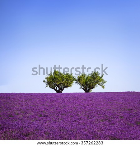 Lavender flowers blooming field and two trees uphill. Valensole, Provence, France, Europe. Stock photo © ElenaBatkova