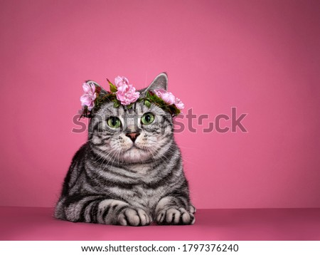 Stockfoto: Black Silver Tabby Blotched Green Eyed British Shorthair Cat